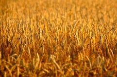 Goldene Stunden-Nahaufnahme von Rye-Feld Stockbild
