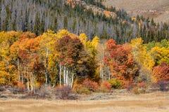 Goldene und orange Espen von Wyoming Stockfotos