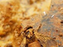 Goldene Wanzen und Boden mit Felsen Stockfotografie