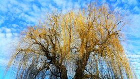 Goldene Weide stockfotografie