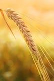 Goldene Weizenähre Lizenzfreies Stockbild
