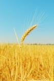 Goldene Weizenähren auf Feld und blauem Himmel Lizenzfreie Stockbilder