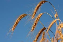 Goldene Weizenspitze vor Ernte stockfotografie