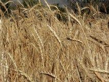 Goldene wheaties Stockbild
