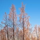 Goldene Winterbäume lizenzfreie stockfotos