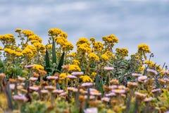 Goldene Yarrow Eriophyllum-confertiflorum Wildflowers, die auf der Küstenlinie des Pazifischen Ozeans blühen lizenzfreies stockbild