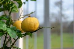 Goldene Zitronenfrucht auf den Niederlassungen stockfoto