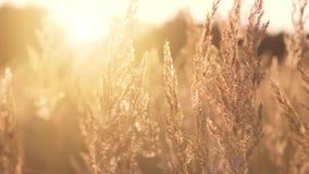 Goldener Abend auf der Wiese