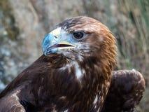 Goldener Adler Stockfoto