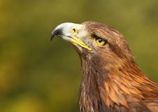 Goldener Adler Lizenzfreies Stockbild
