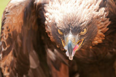 Goldener Adler Stockfotos