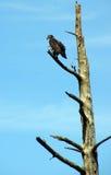 Goldener Adler Lizenzfreie Stockfotografie