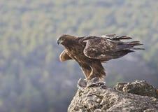 Goldener Adler Lizenzfreie Stockbilder