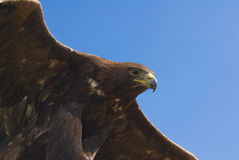 Goldener Adler Lizenzfreie Stockfotos