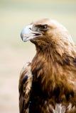 Goldener Adler. Aquila chrysaetos. Lizenzfreie Stockbilder