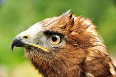 Goldener Adler Aquila Chrysaetos Stockfotos