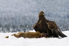 Goldener Adler (Aquila chrysaetos) Stockfotos