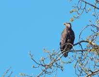 Goldener Adler (Aquila Chrysaetos) Lizenzfreie Stockfotografie