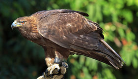 Goldener Adler Aquila Chrysaetos Stockfoto