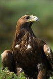 Goldener Adler (Aquila chrysaetos) Stockbilder