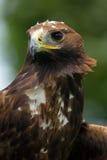 Goldener Adler (Aquila chrysaetos) Lizenzfreies Stockbild