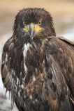 Goldener Adler (Aquila chrysaetos) Stockfotografie