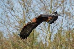 Goldener Adler (Aquila chrysaetos) Lizenzfreies Stockfoto