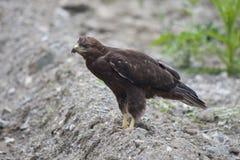 Goldener Adler (Aquila chrysaetos) Stockbild