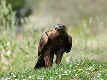 Goldener Adler Aquila Chrysaetos Lizenzfreie Stockbilder