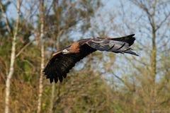 Goldener Adler Aquila Chrysaetos Lizenzfreies Stockfoto