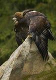 Goldener Adler Aquila Chrysaetos Lizenzfreie Stockfotografie