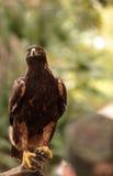 Goldener Adler Aquila Chrysaetos Stockbild