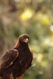 Goldener Adler Aquila Chrysaetos Lizenzfreie Stockfotos