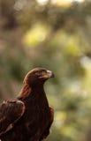 Goldener Adler Aquila Chrysaetos Stockbilder