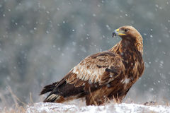 Goldener Adler Aquila chrysaetos Stockfoto