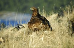 Goldener Adler auf dem Gebiet Lizenzfreies Stockfoto