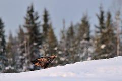 Goldener Adler auf dem Schnee Lizenzfreie Stockfotografie