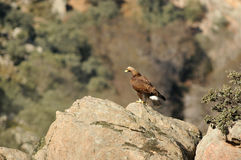 Goldener Adler auf den Felsen des Berges Lizenzfreies Stockfoto
