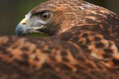 Goldener Adler-Auge über Flügel Lizenzfreie Stockbilder