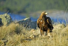 Goldener Adler in den Bergen von Avila Lizenzfreies Stockfoto