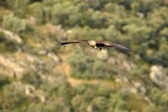 Goldener Adler, der über den Eichenwald fliegt Lizenzfreie Stockfotos