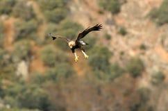Goldener Adler, der über die Eiche fliegt Stockfotografie