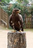 Goldener Adler, der entlang der linken Seite anstarrt. Stockfotos