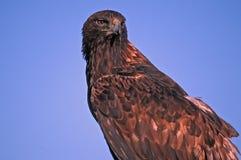 Goldener Adler gegen blauen Himmel Lizenzfreie Stockfotografie