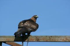 Goldener Adler hockte Stockbild