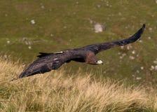 Goldener Adler im Flug Stockbild
