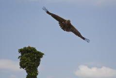 Goldener Adler im Flug Lizenzfreie Stockfotografie