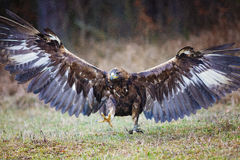 Goldener Adler (Lat Aquila-chrysaetos) Lizenzfreie Stockfotos