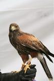 Goldener Adler-Stellung Lizenzfreie Stockfotografie