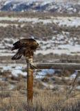 Goldener Adler und Stacheldraht Lizenzfreies Stockfoto